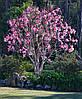 Магнолія Лілієфлора 2 річна, Магнолия Лилиецветная, Magnolia liliiflora, фото 3