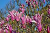 Магнолія Лілієфлора 2 річна, Магнолия Лилиецветная, Magnolia liliiflora, фото 4