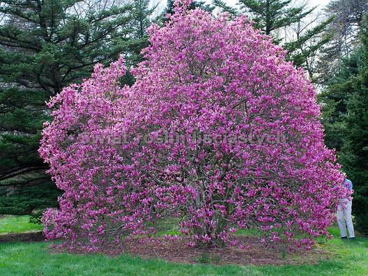 Магнолія Лілієфлора 2 річна, Магнолия Лилиецветная, Magnolia liliiflora, фото 2