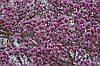 Магнолія Лілієфлора 2 річна, Магнолия Лилиецветная, Magnolia liliiflora, фото 5