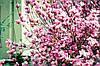 Магнолія Лілієфлора 2 річна, Магнолия Лилиецветная, Magnolia liliiflora, фото 6