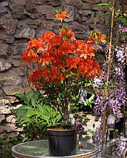 Рододендрон листопадний Fireball 3 річний, Рододендрон листопадный Фиребалл / Фаэрболл, Rhododendron Fireball, фото 3