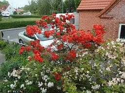 Рододендрон листопадний Fireball 3 річний, Рододендрон листопадный Фиребалл / Фаэрболл, Rhododendron Fireball, фото 2