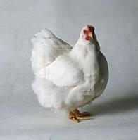 Цыплята бройлеры подрощенные