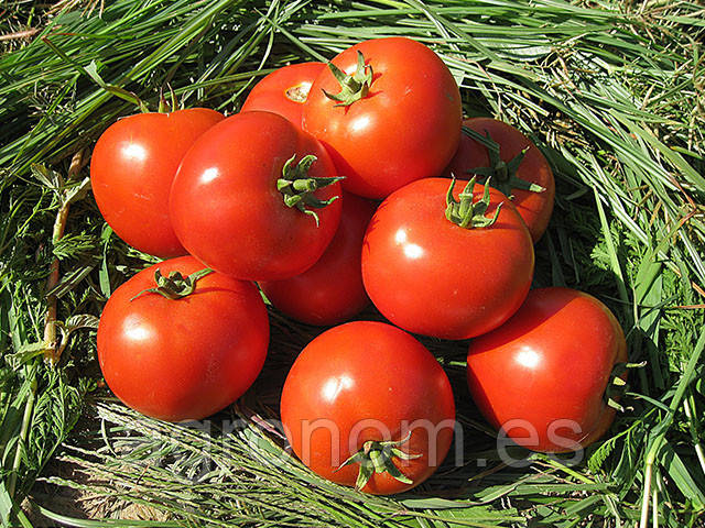 Семена томата Юсуф 408 F1 500 семян Enza Zaden