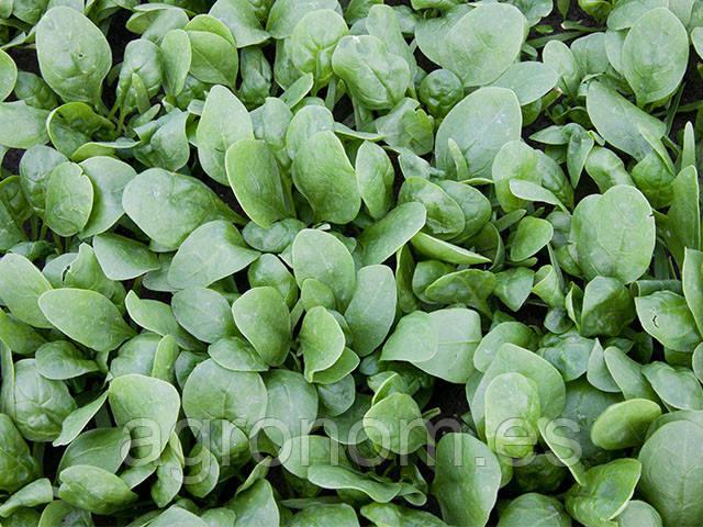 Семена шпината Корвер F1 25 000 семян Enza Zaden