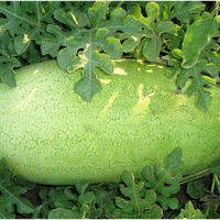 Семена арбуза Чарльстон Грей. Упаковка 0,5 кг. Производитель Clause