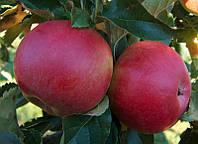 Саджанці яблунь Лігол