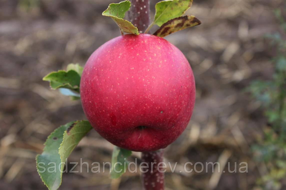 Саджанці яблунь Еліза