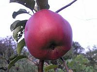 Саджанці яблунь Джумбо Помм