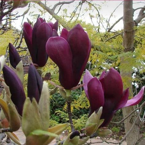 Магнолія Лілієфлора Nigrа 80-120см, Магнолия лилиецветная Нигра, Magnolia liliiflora Nigra, фото 2