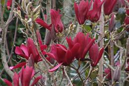 Магнолія Лілієфлора Nigrа 2 річна, Магнолия лилиецветная Нигра, Magnolia liliiflora Nigra, фото 2