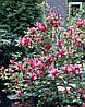 Магнолія Лілієфлора Nigrа 2 річна, Магнолия лилиецветная Нигра, Magnolia liliiflora Nigra, фото 3