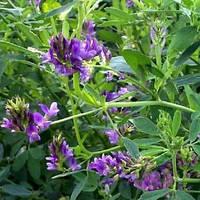 Семена люцерны посевной на сидераты