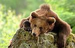 Чем полезен медвежий жир?