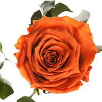 Долгосвежая роза FLORICH без подарочной упаковки (от 5 шт.)  - ОГНЕННЫЙ ЯНТАРЬ (7 карат на коротком стебле)