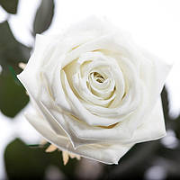 Долгосвежая роза FLORICH без подарочной упаковки (от 5 шт.)  - БЕЛЫЙ БРИЛЛИАНТ (7 карат на коротком стебле)