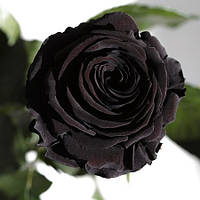 Florich Букет долгосвежих роз Черный бриллиант (7 карат на коротком стебле) Florich