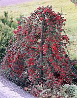 Кизильник гібридний Coral Beauty 3 річний , Кизильник гибридный / Даммера Корал Бьюти, Cotoneaster x suecicus