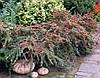 Кизильник гібридний Coral Beauty 3 річний , Кизильник гибридный / Даммера Корал Бьюти, Cotoneaster x suecicus, фото 2