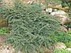 Кизильник гібридний Coral Beauty 3 річний , Кизильник гибридный / Даммера Корал Бьюти, Cotoneaster x suecicus, фото 4
