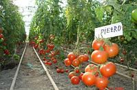 Семена томата Пьетро F1. Упаковка 1 000 семян. Производитель Clause