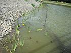 Посадка водных растений и прибережных растений, фото 2