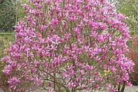 Магнолія гібридна Susan 50-60см, Магнолия гибридная Сюзан / Сузан, Magnolia hibrida / hybrids Susan