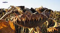 Семена подсолнечника НК Роки от Syngenta