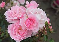 Роза Боника (Bonica)