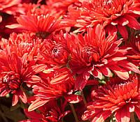 Хризантема корейская ЛЕПСТИК черенок, фото 1