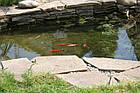 Зарыбление водоема. Разведение декоративной рыбы, фото 2