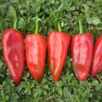 Семена перца сладкого Капело F1. Упаковка 500 семян. Производитель Clause