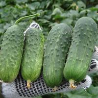 Семена огурца Регал F1. Упаковка 100 гр. Производитель Clause