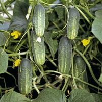 Семена огурца Роял F1. Упаковка 100 гр. Производитель Clause