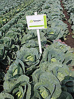 ТРИПЕРИО F1 , 2500 сем- очень мощное стрессоустойчивое растение