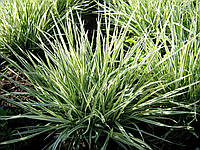 Райграс луковичный «Вариегатум» (карликовый, неагресивный), фото 1