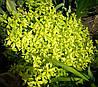 Душица обыкновенная Ауреа (Origanum vulgare aureum)
