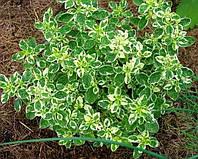 """Душица обыкновенная """"Вариегата""""  (Origanum vulgare ''Variegata''), фото 1"""