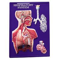 Набор для работы с моделью дыхательной системы