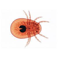 Микропрепараты «Паукообразные и многоножки», на английскийском языке