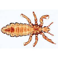 Микропрепараты «Насекомые», Insecta, на английскийском языке