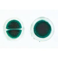 Микропрепараты «Водоросли», на английскийском языке
