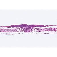 Микропрепараты «Эмбриология курицы, Rana», на английскийском языке