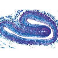 Микропрепараты «Гистология позвоночных, кроме млекопитающих», на английском языке