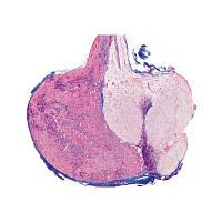 Микропрепараты «Органы, продуцирующие гормоны, и гормональная функция», серия IV, на английском язык