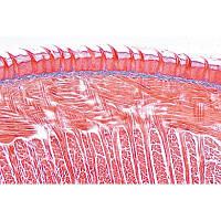 Микропрепараты «Пищеварительная система», на английском языке