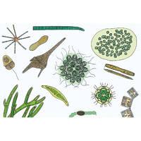 Микропрепараты «Микроскопическая жизнь в воде», часть II, на английском языке