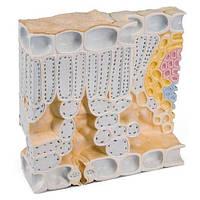 Блочная модель строения листа