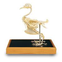 Модель скелета голубя (Columbapalumbus)